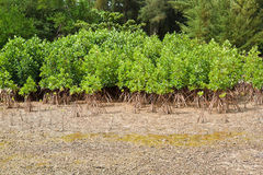 Mangrove Thailand. Stock Photography