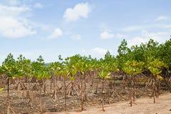Mangrove Thailand. Royalty Free Stock Photography