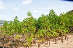 Mangrove Thailand. Stock Image