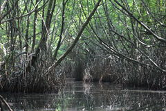 Mangrove thickets. Bentota river. Sri Lanka. Stock Photography