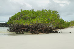 Mangrove on Tortuga Bay beach Stock Images