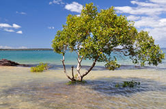 Mangrove tree. A mangrove tree in Moreton Bay Stock Images