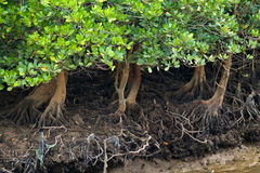 Free Mangrove Tree Stock Photos - 19440473