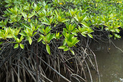 Mangrove tree Royalty Free Stock Photography