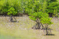 Mangrove tree Stock Images