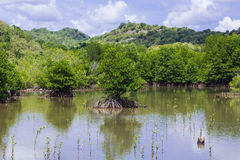 Mangrove tree Royalty Free Stock Image
