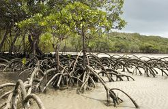 Free Mangrove Tree Royalty Free Stock Image - 517846