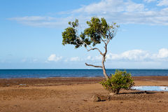 Mangrove Tree on Beach Stock Images