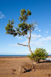 Mangrove Tree on Beach Stock Image