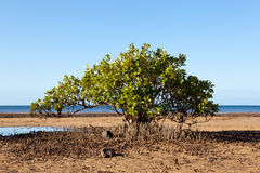 Mangrove Tree on Beach Stock Photo