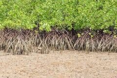 Mangrove tree on the beach Stock Photos