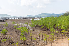 Mangrove tree on the beach Royalty Free Stock Photography