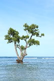 Mangrove. Tree in blue sea with blue sky behind Stock Images