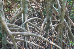 Mangrove tree. Branch of mangrove tree in the forest Royalty Free Stock Photos