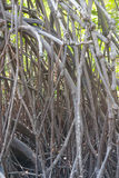 Mangrove tree. Branch of mangrove tree forest Royalty Free Stock Photography