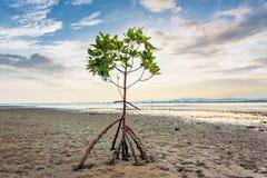 Mangrove tree at clean beach Royalty Free Stock Image