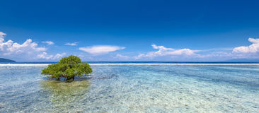 A mangrove tree on a coral reef Stock Photography