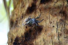 Mangrove Tree Crab Stock Photos