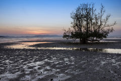 Mangrove tree at dawn Stock Photos