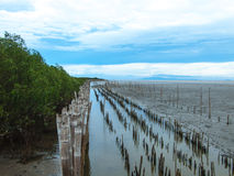 Mangrove tree. Mangrove forest at Bang-pu of Samutprakarn, Thailand Stock Photos