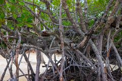 Mangrove tree forest closeup. Mangrove tree roots natural pattern. Coastal land ecosystem. Tropical jungle. On seaside. Mangrove tree branches and leaves. Wild royalty free stock photography