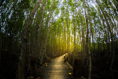 Mangrove tree forest pathway glow golden light Stock Photos