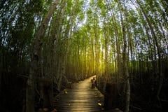 Mangrove tree forest pathway glow golden light Stock Photos
