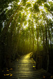 Mangrove tree forest pathway glow golden light Royalty Free Stock Photos
