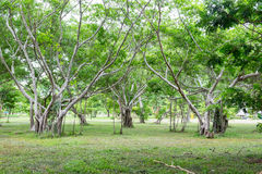 Mangrove tree in forest verdant Royalty Free Stock Photo