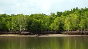 Mangrove forests in Thailand.