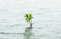 Mangrove tree growing on water. Mangrove tree growing on the water Stock Image