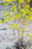 Mangrove tree growing on a white sandy Royalty Free Stock Photos