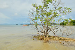 Mangrove tree grows in the shallow water Royalty Free Stock Images