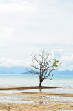 Mangrove tree grows in the shallow water Royalty Free Stock Photos