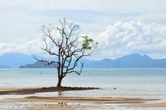 Mangrove tree grows in the shallow water Royalty Free Stock Image