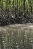 Mangrove tree at Havelock island, Andaman and Nicobar, India Stock Photo