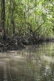 Mangrove tree at Havelock island, Andaman and Nicobar, India Royalty Free Stock Images