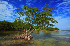 Mangrove tree islet viewed from the water surface, Bbrown, closeup, creature, danger, dangerous, detail, environment, eye, fear, f. Mangrove tree islet viewed Stock Image