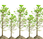 Mangrove tree isolated white Stock Images