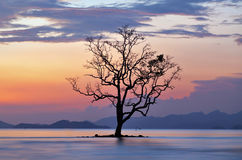 MANGROVE TREE. Is located alone bt the sea Royalty Free Stock Photography