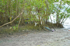 Mangrove tree at the muddy seaside Stock Image