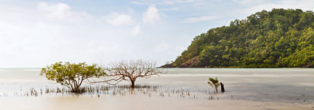 Mangrove tree national park Australia Stock Images