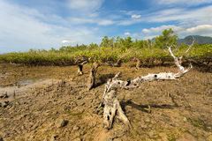 Mangrove tree North Sulawesi, Indonesia Royalty Free Stock Photography