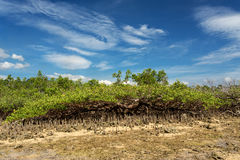 Mangrove tree North Sulawesi, Indonesia Stock Photography