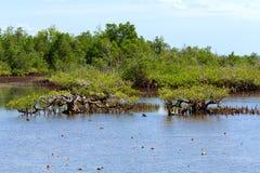 Mangrove tree North Sulawesi, Indonesia Royalty Free Stock Image
