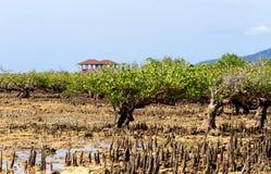 Mangrove tree North Sulawesi, Indonesia Stock Image