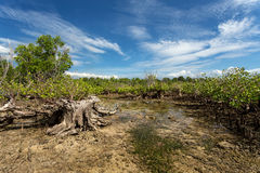 Mangrove tree North Sulawesi, Indonesia Stock Photos