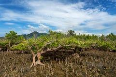 Mangrove tree North Sulawesi, Indonesia Royalty Free Stock Photos