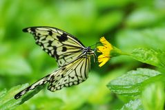 Mangrove tree nymph butterfly Royalty Free Stock Photo