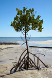 Mangrove tree at ocean beach Stock Images